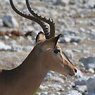 Impala (Aepyceros melampus) portrait by christopher363