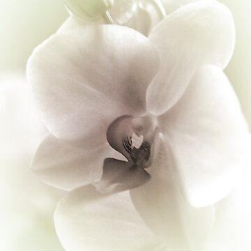 Orchids in Pastel Colors by spops