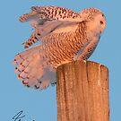 Frazzled Snowy Owl 2 of 2 by DigitallyStill