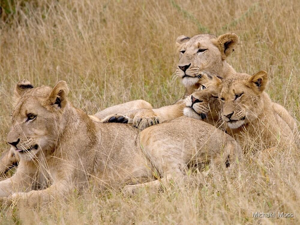 Lion Pride Reunion by Michael  Moss