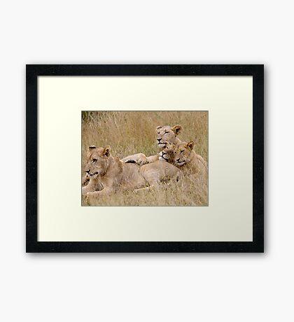 Lion Pride Reunion Framed Print