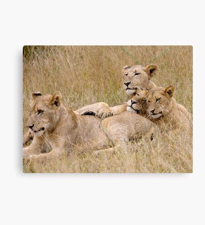 Lion Pride Reunion Canvas Print