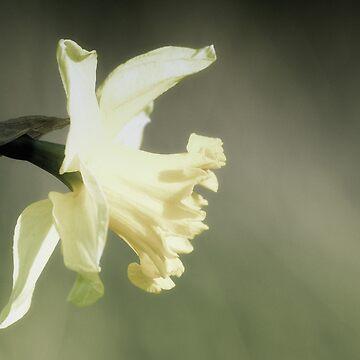 Daffodil by Nigdaw