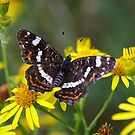 Map Butterfly - Araschnia levana by Lepidoptera
