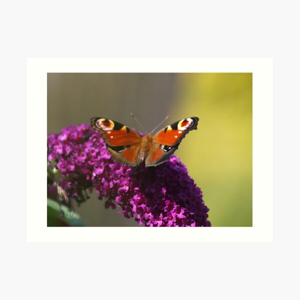 Resting Peacock Butterfly on Buddleia Art Print