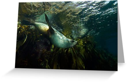 Fur Seals by MattTworkowski