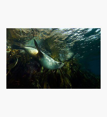 Fur Seals Photographic Print