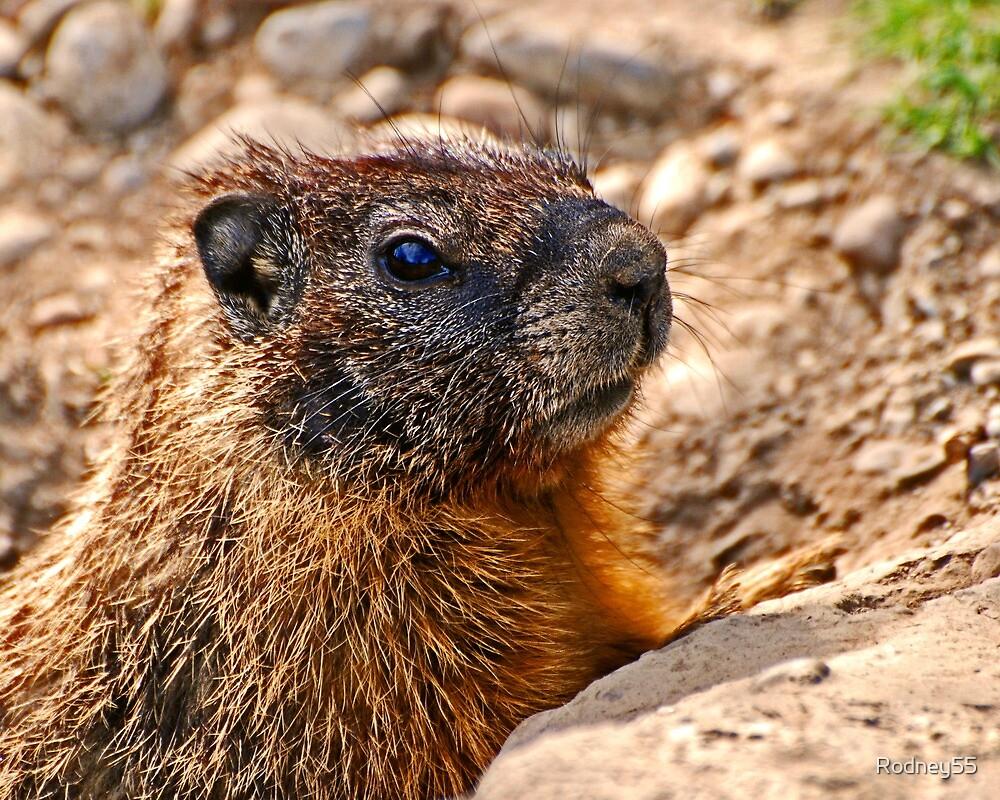 Marmot head 1 by Rodney55
