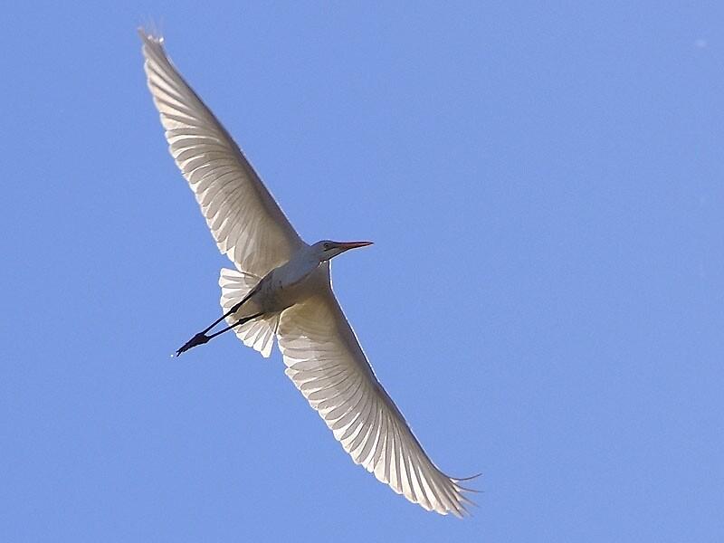 White Egret In Flight by Gryphonn