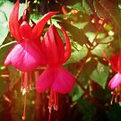 Fuchsia from the Farm, Spring 2018 by EdsMum