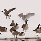 Goose chasing Goose by tcat757