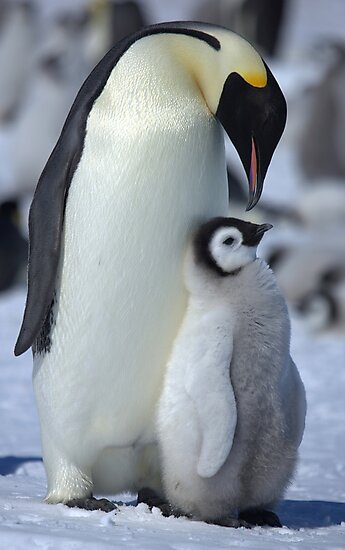 Snowhill Emperor and Chick by Steve Bulford