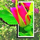 Rose Bud, Don't Fence Me In by MaeBelle