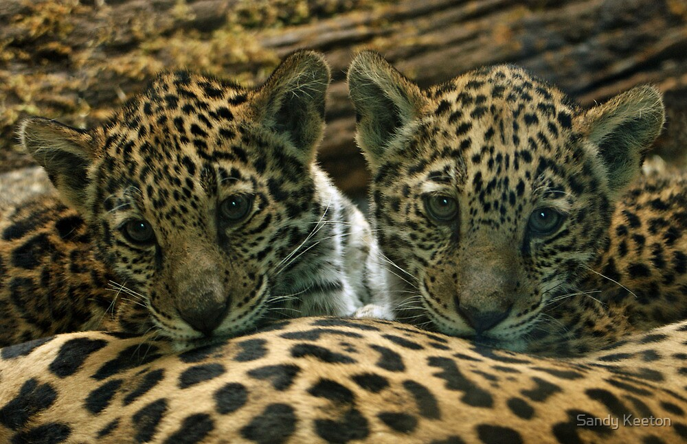 Two Jaguar Cubs by Sandy Keeton