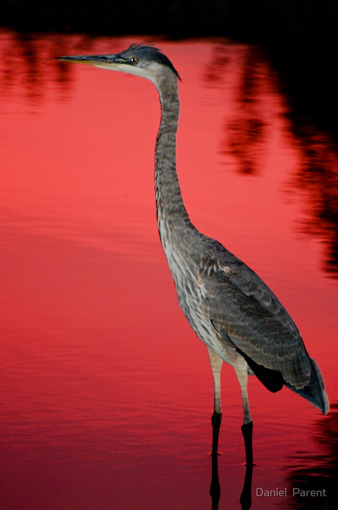 Blue Heron at Sunset by Daniel  Parent