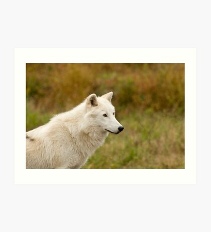 Arctic Wolf Close up  Art Print