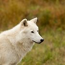 Arctic Wolf Close up  by Daniel  Parent