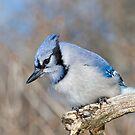 Pretty in Blue by Daniel  Parent