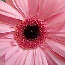 wundervolle rosa, lachsfarbene Gerbera, Blume, Natur, Korbblütler von rhnaturestyles