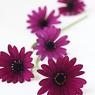 Purple Osteospermum by OldaSimek