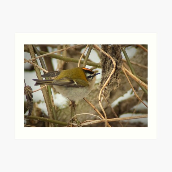 Little Firecrest - golden shot Art Print