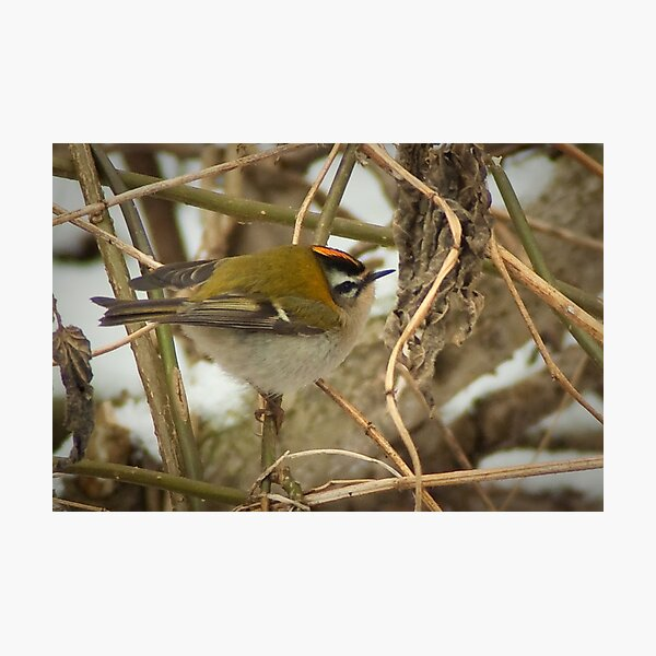 Little Firecrest - golden shot Photographic Print
