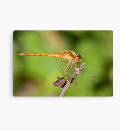 Sweet Dragonfly Canvas Print
