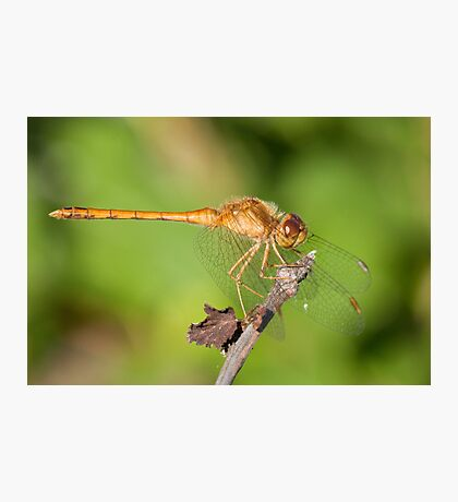 Sweet Dragonfly Photographic Print