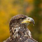 Immature Bald Eagle  by Daniel  Parent
