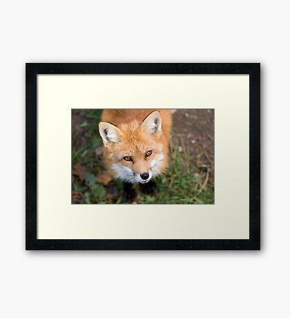 Friendly Fox Framed Print