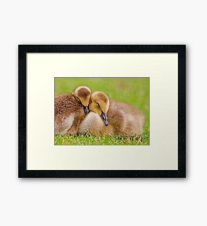 Cuddling Goslings  Framed Print