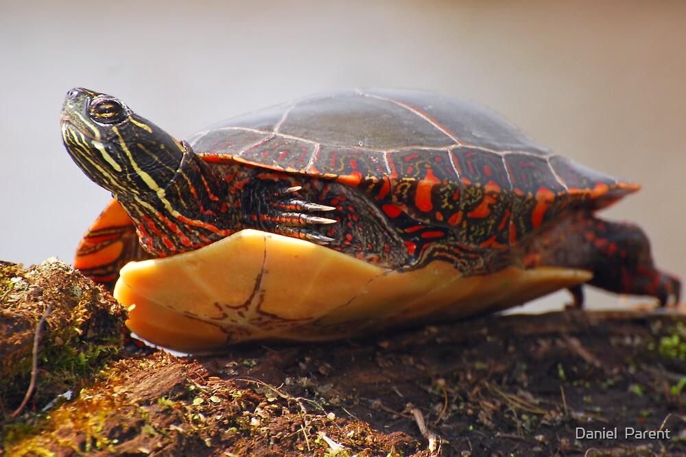 Painted Turtle by Daniel  Parent