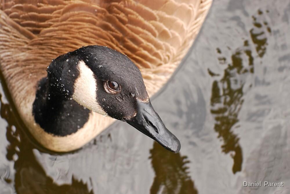 Canada Goose Eh! by Daniel  Parent