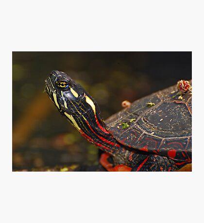 Painted Turtle Portrait  Photographic Print