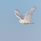 Snowy Owl 2018-23 by Thomas Young