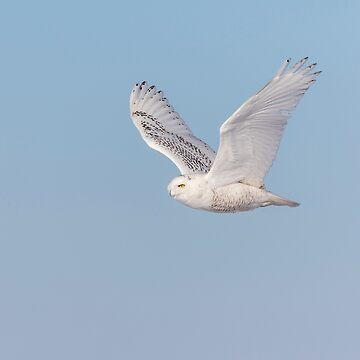 Snowy Owl 2018-23 by Thomasyoung