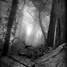 Misty tree bark, Mount Davidson by Richard Mason