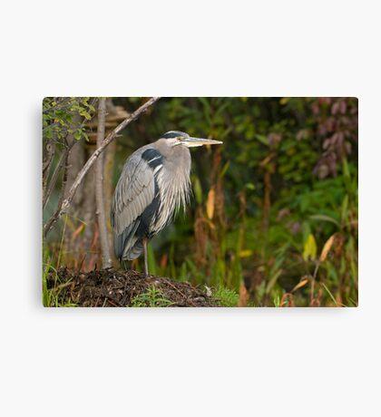 Blue Heron at Rest Canvas Print
