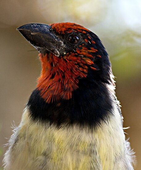 Black Collared Barbet Close Up by Michael  Moss