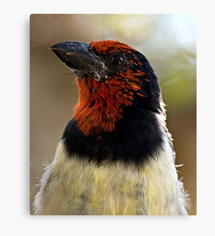 Black Collared Barbet Close Up Canvas Print