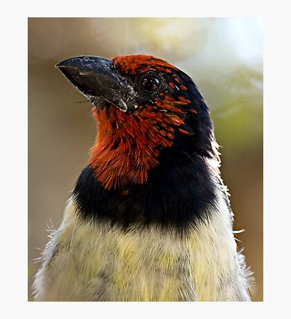 Black Collared Barbet Close Up Photographic Print