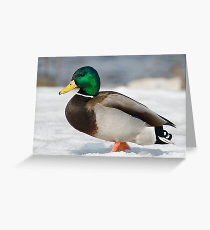 Snow Mallard Greeting Card