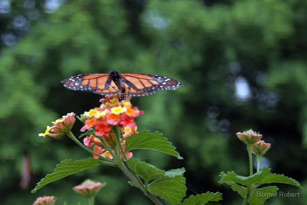 The King of Butterflies – The Monarch  by Bonnie Robert