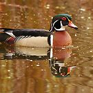 Wood Duck and Reflection by Daniel  Parent