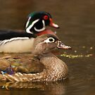 Wood Duck Courtship by Daniel  Parent