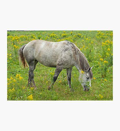 Grazing Horse  Photographic Print