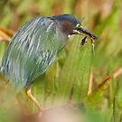 Green Heron with Dragonflies by Daniel  Parent
