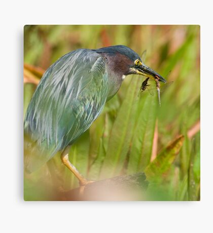 Green Heron with Dragonflies Canvas Print