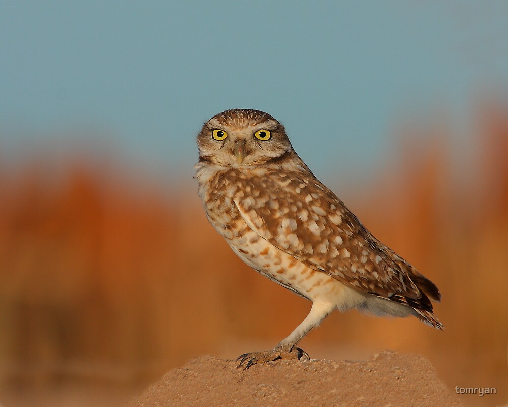 Burrowing Owl #2 by tomryan