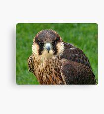 Falcon Eyes Canvas Print